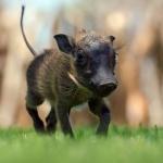 baby_warthog_grass