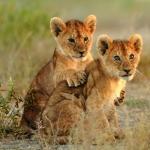 lion_Theodore_mattis