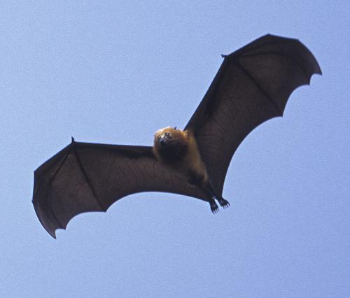 Incredibly Unique Animals: Pemba Flying Fox - ARC